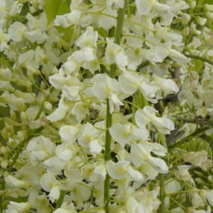 Glycine blanche du Japon 'Alba'