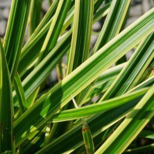 50c35ada7e6a99 Carex morrowii ice dance   variegata