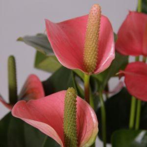 Anthurium 'Royal Pink Champion'