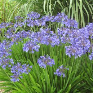 Agapanthe bleue 'Pitchoune'®