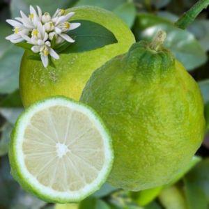 Citronnier des Antilles