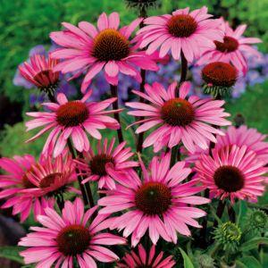 Echinacea 'Pow Wow Pink'