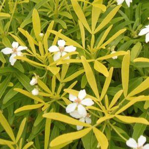 Grands Arbustes Parfumes Gamm Vert