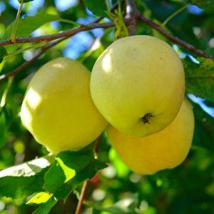 Pommier 'Golden Delicious' : taille en gobelet, en pot