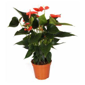 Anthurium orange 'Matiz'