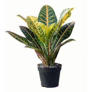 Croton 'Petra' 40/45 cm