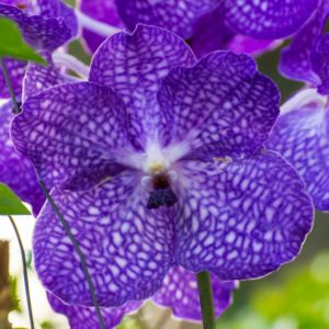 Orchidée Vanda Blue Magic XXL