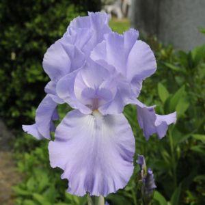 Iris germanica mary frances