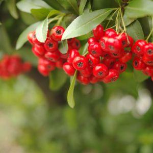 Buisson-ardent 'Saphyr Rouge®' Cadrou