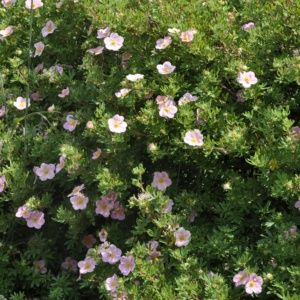 Potentille arbustive 'Lovely pink'