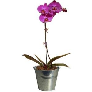 orchid e plante d 39 int rieur gamm vert. Black Bedroom Furniture Sets. Home Design Ideas