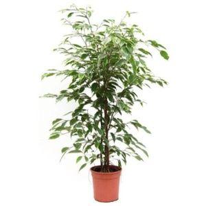 Ficus panaché golden king