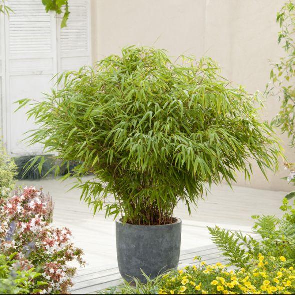Bambou non traçant : Fargesia rufa Pot de 5 litres - Gamm Vert