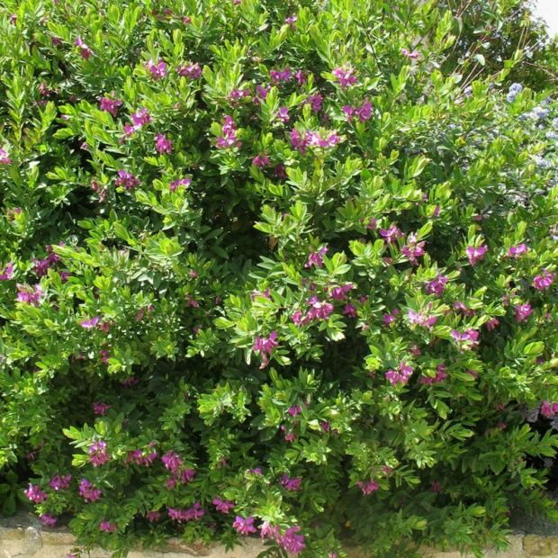 polygala myrtifolia pot de 4 litres gamm vert. Black Bedroom Furniture Sets. Home Design Ideas