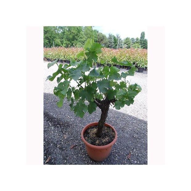 Cep de vigne blanc pot de 25 litres en cep - Gamm Vert
