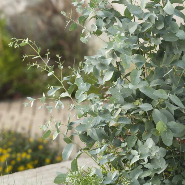 Eucalyptus gunnii pot de 7 5 litres hauteur 100 125 cm gamm vert - Eucalyptus gunnii en pot ...