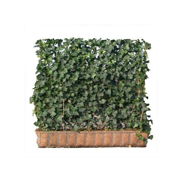 plante grimpante 1m