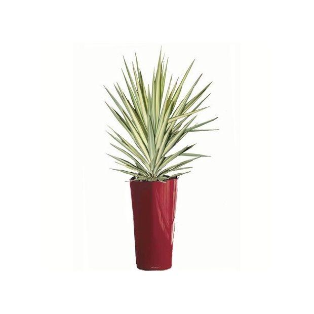 Yucca panach rempot dans un pot lechuza rouge pot for Yucca exterieur pot