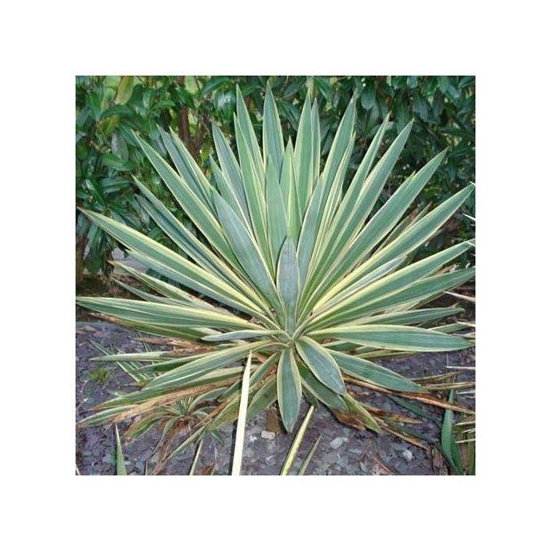 Yucca gloriosa 39 variegata 39 pot de 7 5 litres gamm vert for Yucca plante exterieur