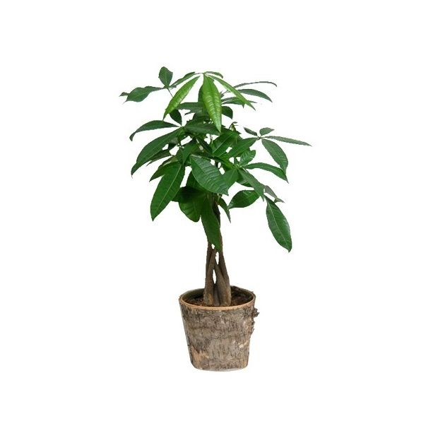 plante verte tressee