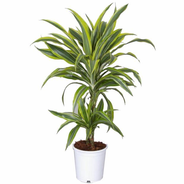Dracaena lemon lime en pot de 17cm hauteur 75cm gamm vert for Plantes tropicales exterieur