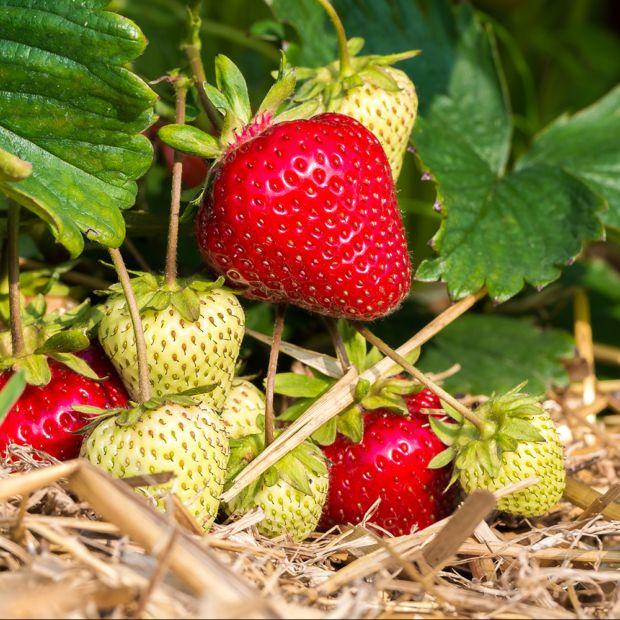 fraisier 39 magnum 39 le lot de 20 le lot de 20 plants en racines nues gamm vert. Black Bedroom Furniture Sets. Home Design Ideas