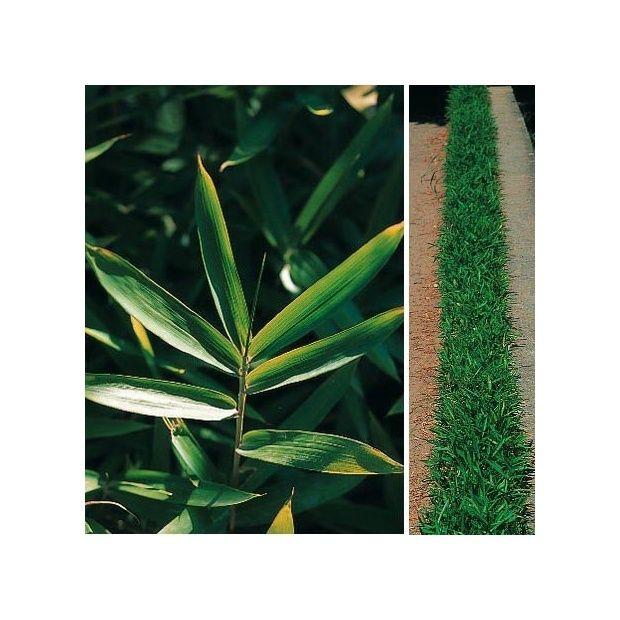 Bambou nain pleioblastus pumilus pot de 3 litres hauteur 10 30 cm gamm vert - Bambou nain en pot ...