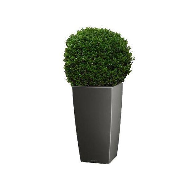 buis boule 40 45 cm rempotage gamm vert. Black Bedroom Furniture Sets. Home Design Ideas