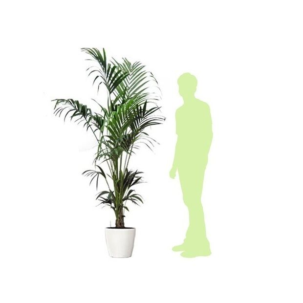 kentia rempot dans pot lechuza classico premium 35 blanc. Black Bedroom Furniture Sets. Home Design Ideas