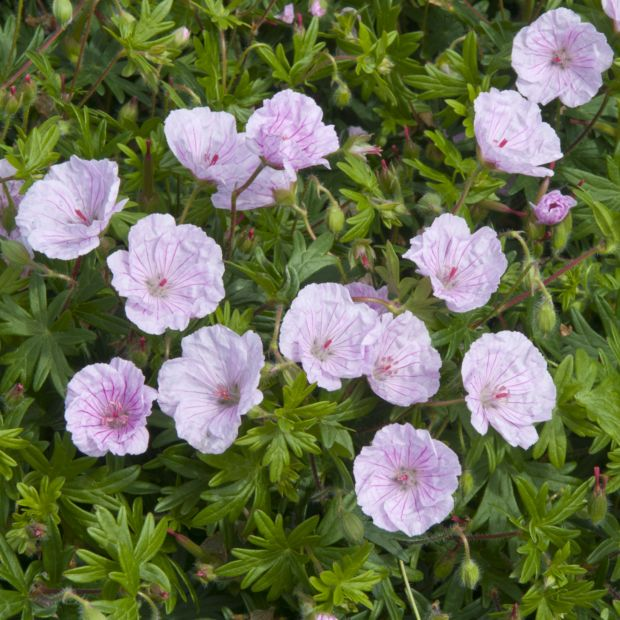 geranium sanguin rose vein 39 lancastriense 39 en lot de 3 godets de 7 cm gamm vert. Black Bedroom Furniture Sets. Home Design Ideas