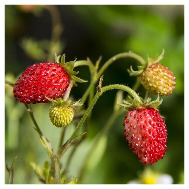 fraisier remontant 39 fraise des bois 39 en pot de 1 litre. Black Bedroom Furniture Sets. Home Design Ideas