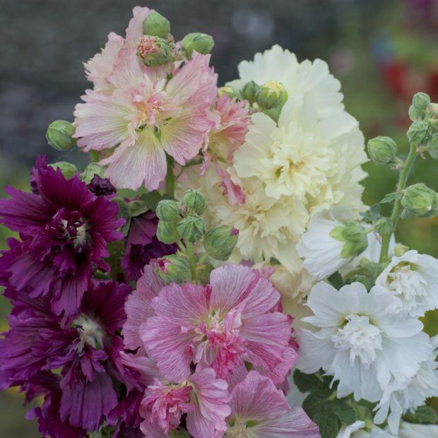 Rose tremiere semi double melange en pot de 14 cm gamm vert - Rose tremiere en pot ...