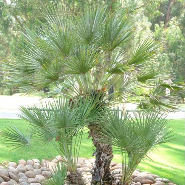 palmier nain chamaerops humilis cerifera pot de 3 litres. Black Bedroom Furniture Sets. Home Design Ideas