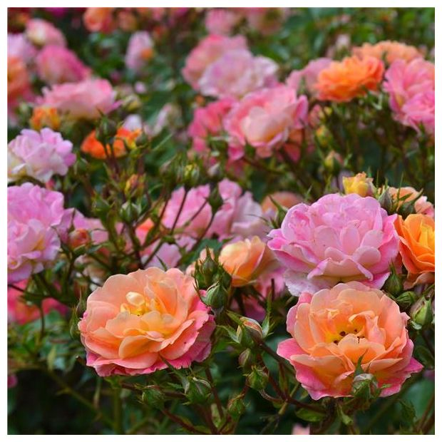 Rosier bordure cama eu delcapo rosier georges delbard for Buisson synthetique