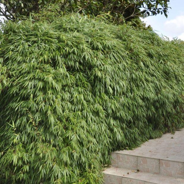 bambou non tra ant fargesia rufa en pot de 3 litres gamm vert. Black Bedroom Furniture Sets. Home Design Ideas