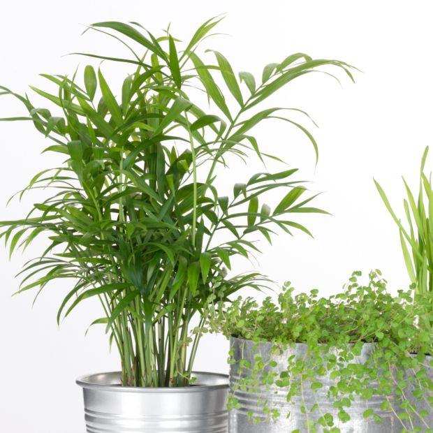 palmier nain chamaedora pot de 10 cm gamm vert. Black Bedroom Furniture Sets. Home Design Ideas