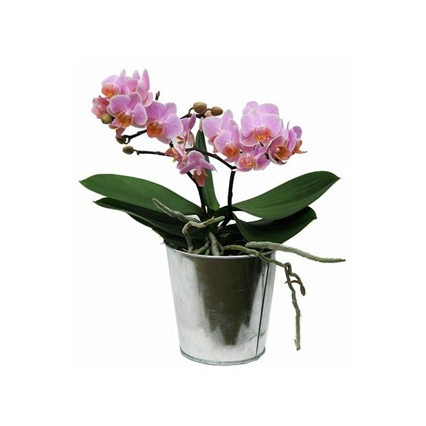 orchid e phalaenopsis rose en fleurs 2 hampes florales cache pot zinc cache pots zinc. Black Bedroom Furniture Sets. Home Design Ideas