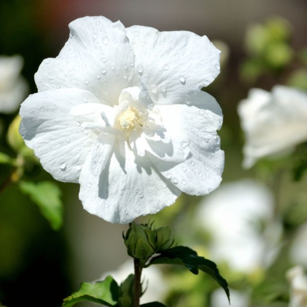 hibiscus syriacus 39 white chiffon 39 pot de 3 litres gamm vert. Black Bedroom Furniture Sets. Home Design Ideas