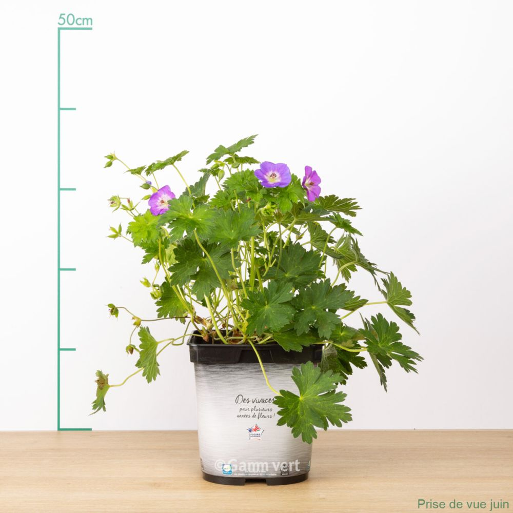 g ranium vivace 39 rozanne 39 en pot de 2 litres gamm vert. Black Bedroom Furniture Sets. Home Design Ideas