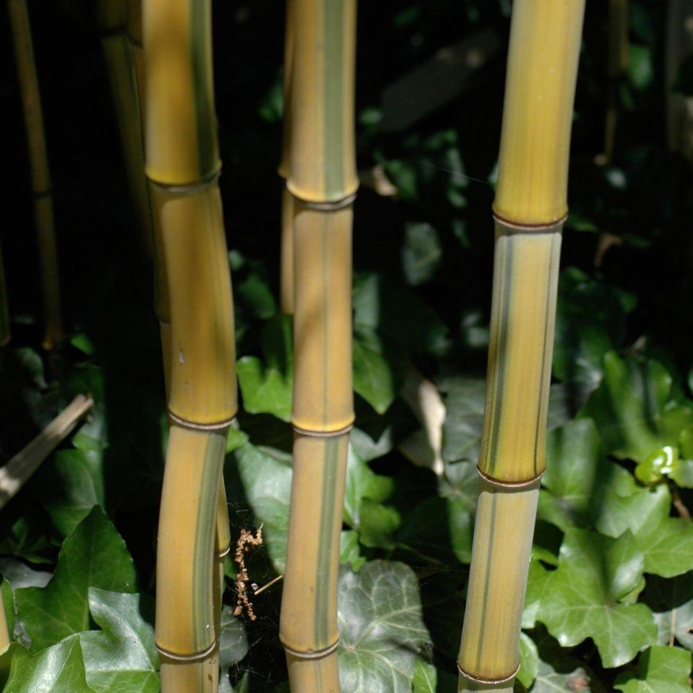 Bambou moyen phyllostachys aureosulcata 39 spectabilis for Plante bambou exterieur