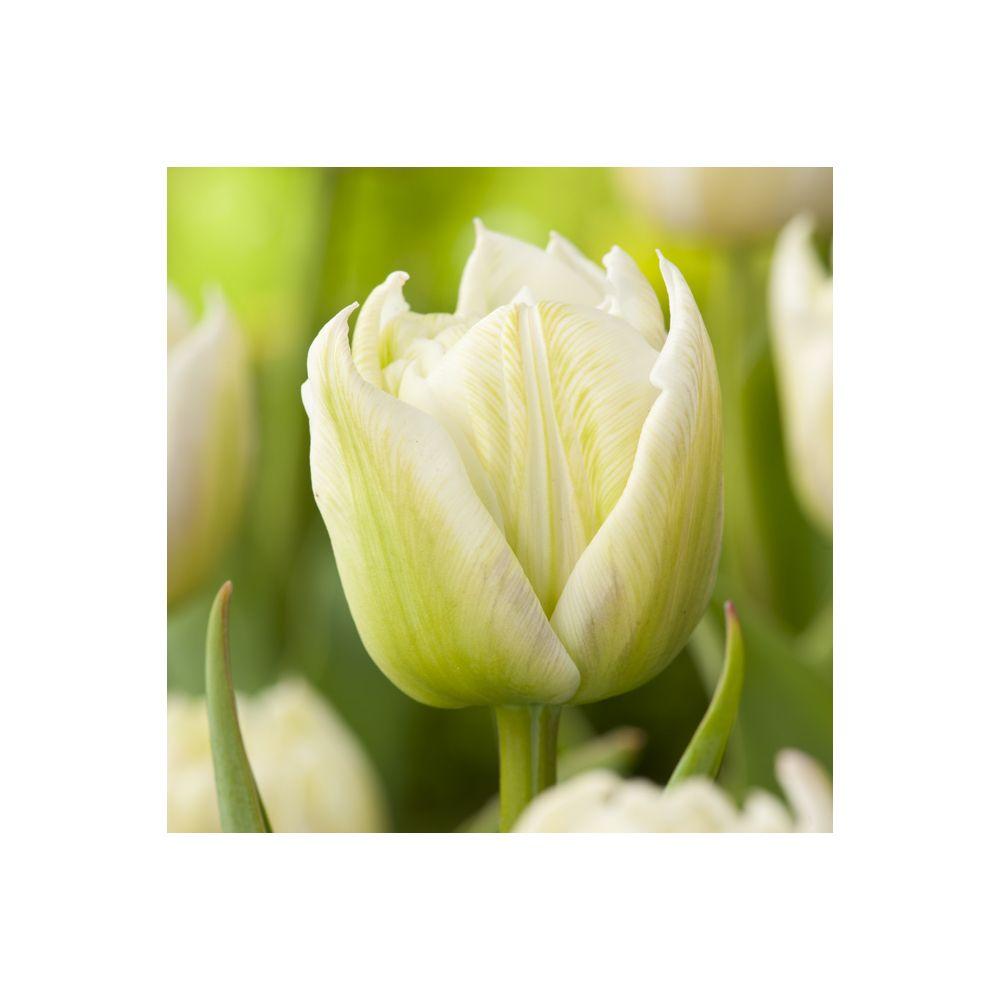 Tulipe 'Mondial'