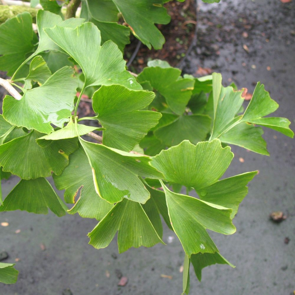 ginkgo biloba arbre aux quarante cus pot de 7 5 litres hauteur 100 120cm gamm vert. Black Bedroom Furniture Sets. Home Design Ideas
