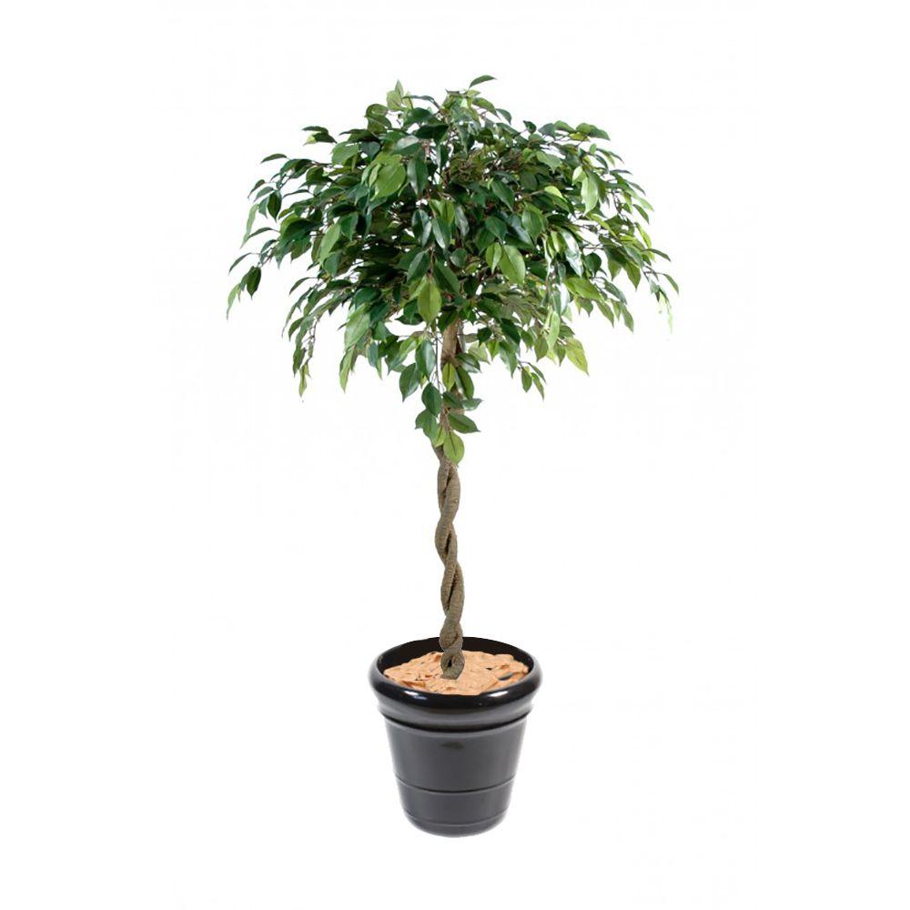 Ficus Boule Natasja H140cm Artificiel non rempoté