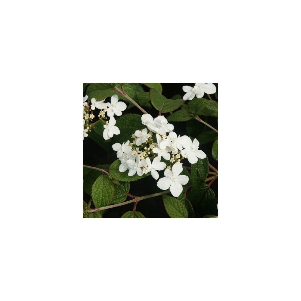 Viorne ou Viburnum plicatum 'Watanabe'