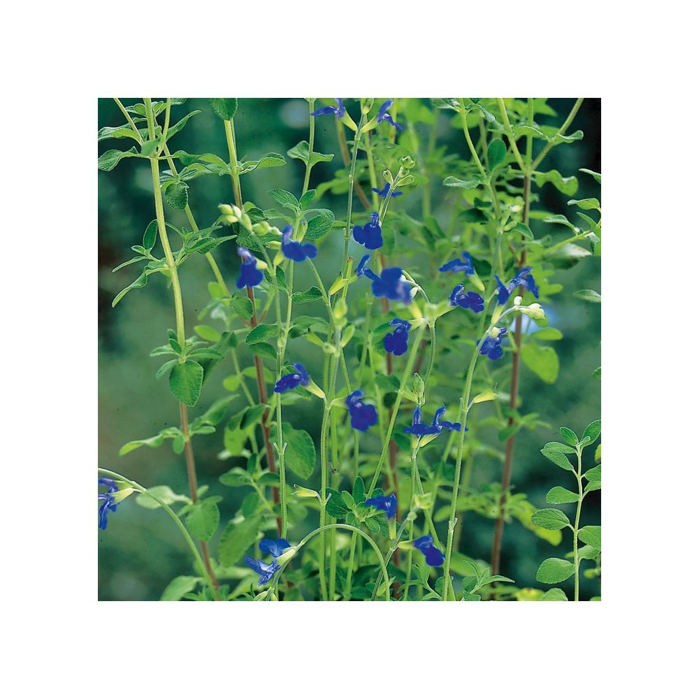 Sauge germandrée – Salvia chamaedryoides