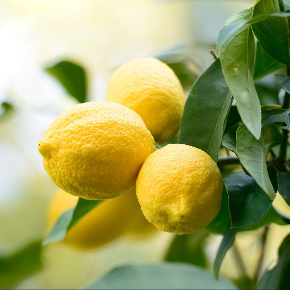 Citronnier des 4 Saisons