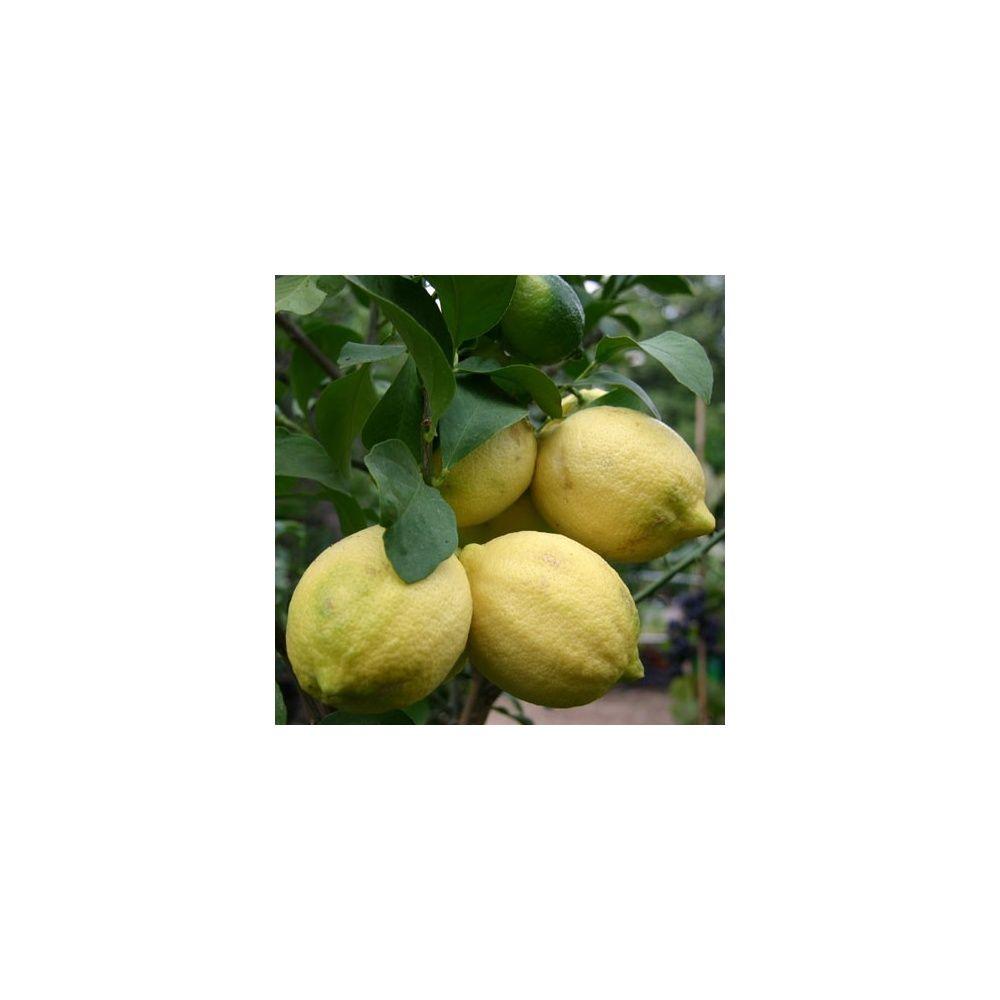 entretien dun citronnier en hiver citronnier citron limonier with entretien dun citronnier en. Black Bedroom Furniture Sets. Home Design Ideas