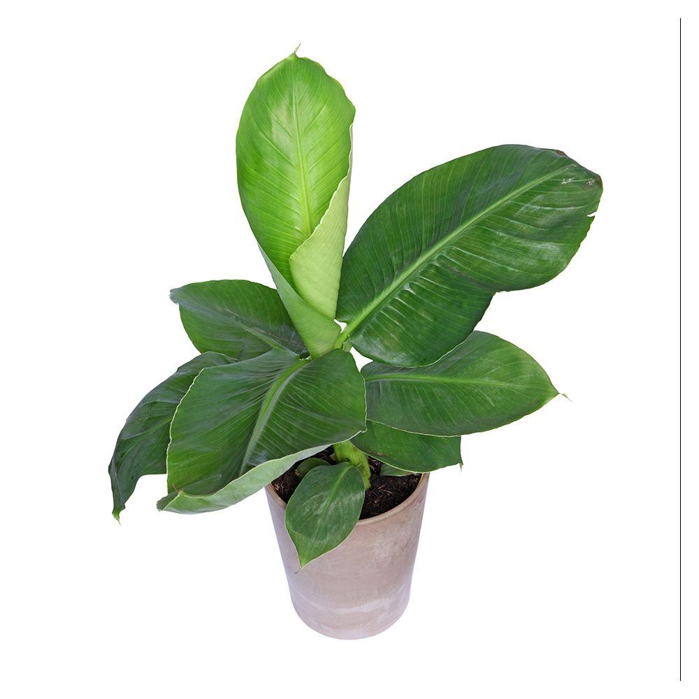 bananier dwarf cavandish en pot de 27cm , hauteur 95cm - gamm vert
