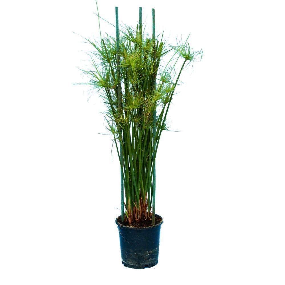 papyrus cyperus haspan en pot de 14cm hauteur 55cm gamm vert. Black Bedroom Furniture Sets. Home Design Ideas