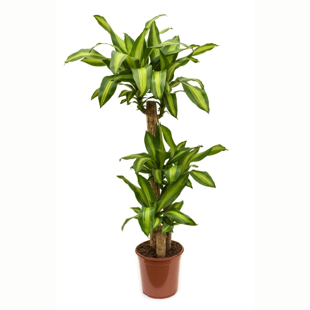 dracaena massangeana 2 cannes en pot de 19cm hauteur 100cm gamm vert. Black Bedroom Furniture Sets. Home Design Ideas